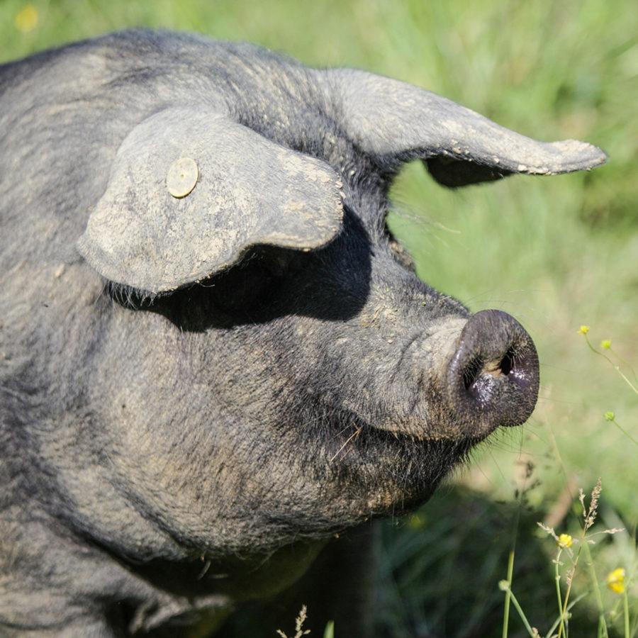 Boucherie de la gare - saint andre de corcy - Porc noir de Biggore